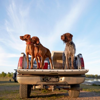 Dogs in a Pickup Truck