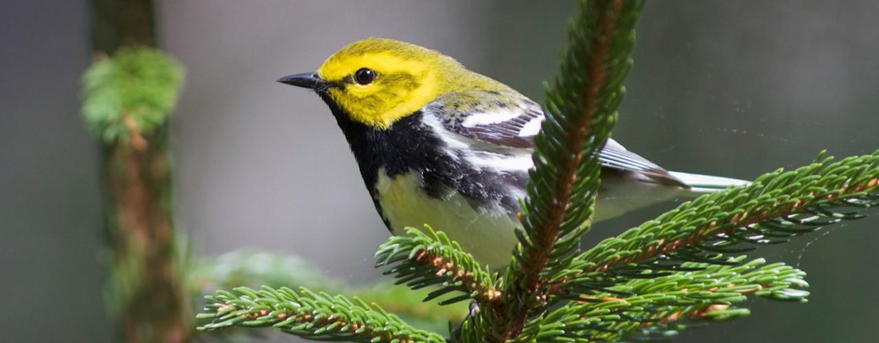 Close-up of a bird on a pine branch.