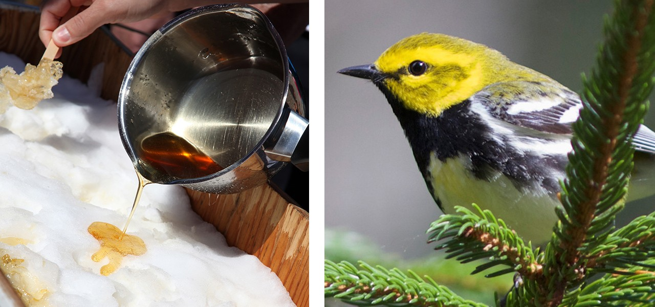 Maple syrup being poured onto packed snow, and a bird perched on a pine branch.