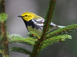 Close up of bird on pine branch.