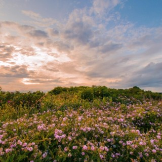 A field of flowers at sunset.
