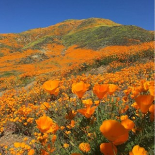 A field of orange flowers covering a hill.