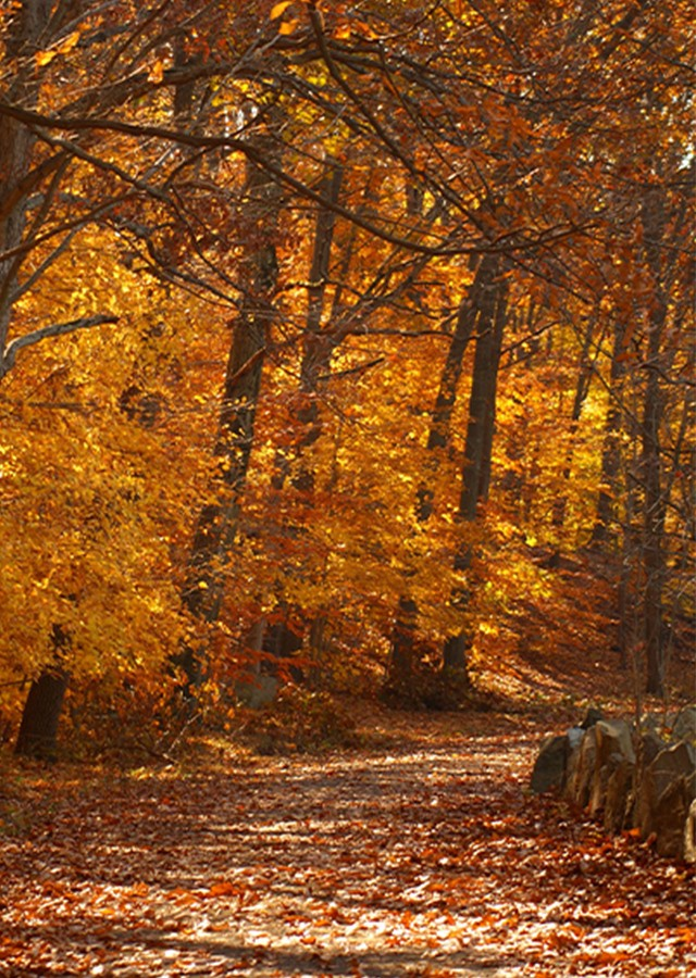 Fall colors ablaze on a curved, tree-lined road covered with fallen leaves.