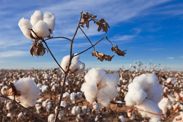 A field of cotton.